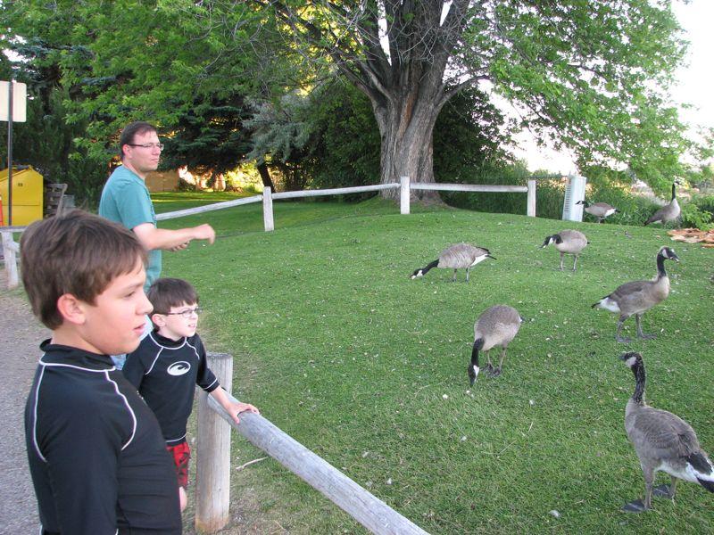 feeding-geese